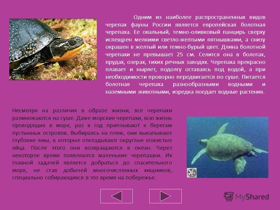 Различные виды черепах. Среди черепах встречаются как сухопутные, так и водные виды. Большинство же из них ведет полуводный образ жизни, встречаясь в болотах, а также по берегам рек и озер. У пресноводных черепах между пальцами ног развивается плават