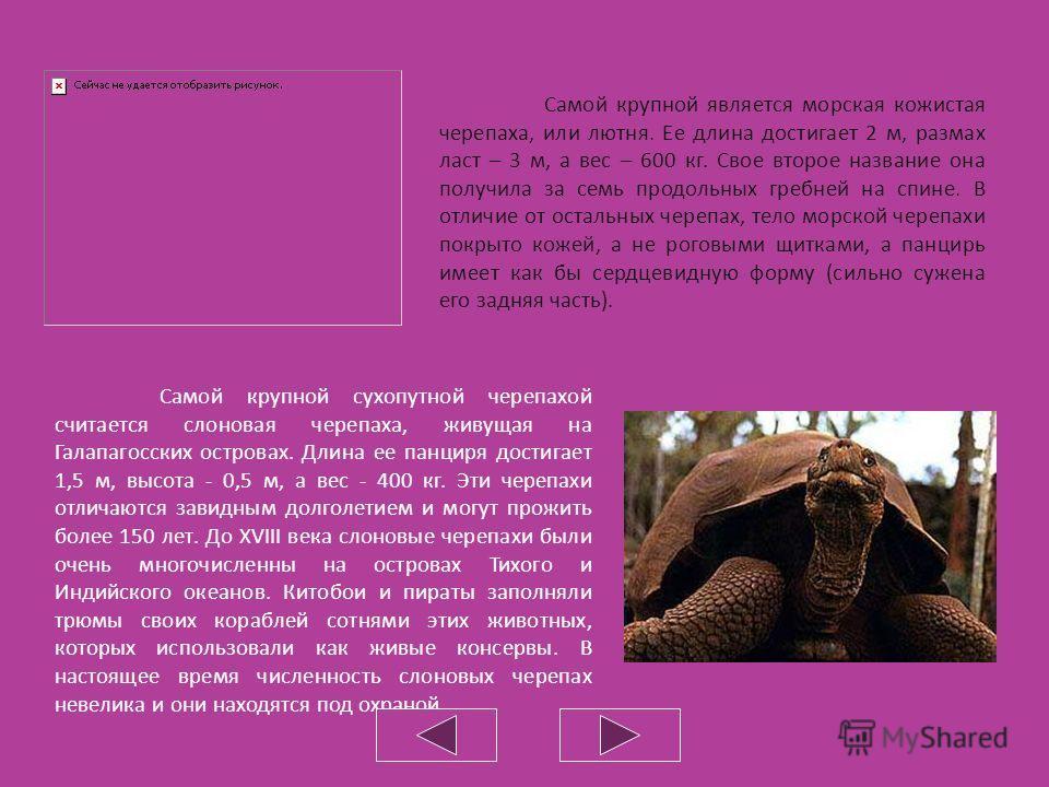 Одним из наиболее распространенных видов черепах фауны России является европейская болотная черепаха. Ее овальный, темно-оливковый панцирь сверху испещрен мелкими светло-желтыми пятнышками, а снизу окрашен в желтый или темно-бурый цвет. Длина болотно