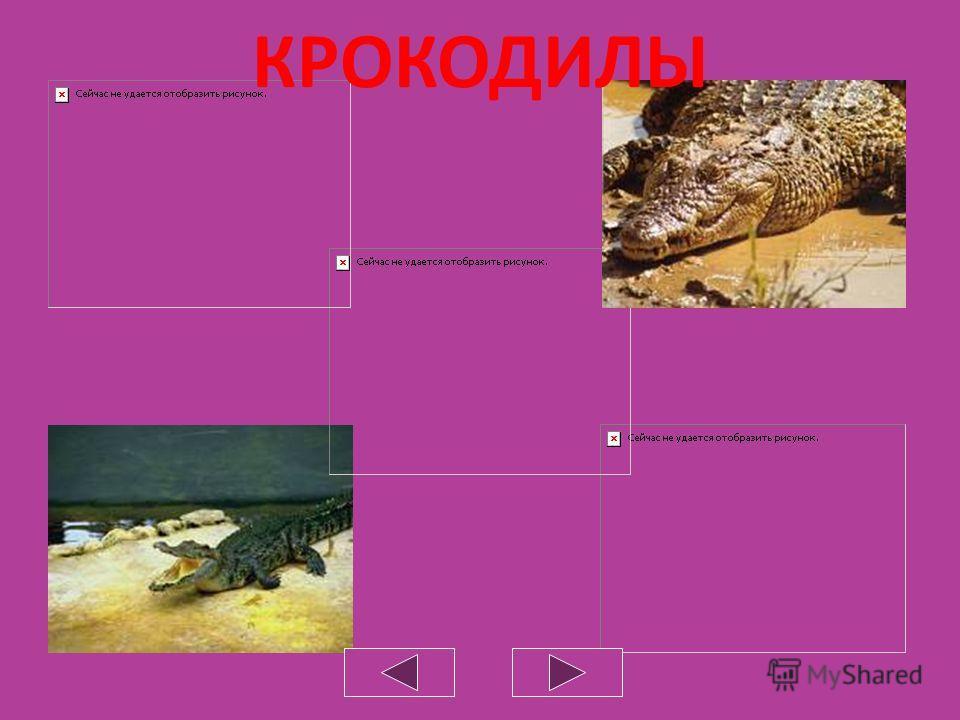 Самой крупной является морская кожистая черепаха, или лютня. Ее длина достигает 2 м, размах ласт – 3 м, а вес – 600 кг. Свое второе название она получила за семь продольных гребней на спине. В отличие от остальных черепах, тело морской черепахи покры