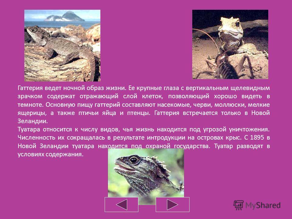 Клювоголовые Клювоголовые являются самыми древними среди современных пресмыкающихся. Они возникли в юрском периоде, около 165 миллионов лет назад. До наших дней дожил всего один вид – гаттерия, или туатара. С тех пор она не претерпела существенных из