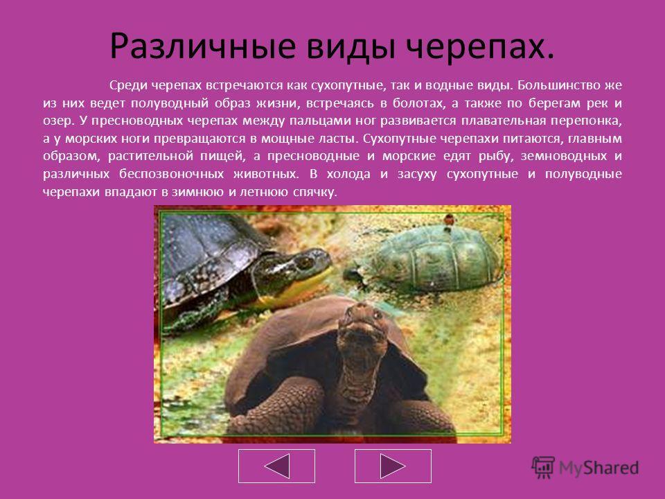 Характерной особенностью черепах является костно- роговой или костно-кожистый панцирь. Он состоит из двух щитов, срастающихся с позвонками и ребрами. Из всех отделов позвоночника подвижными остаются только шейный и хвостовой. Многие черепахи, спасаяс
