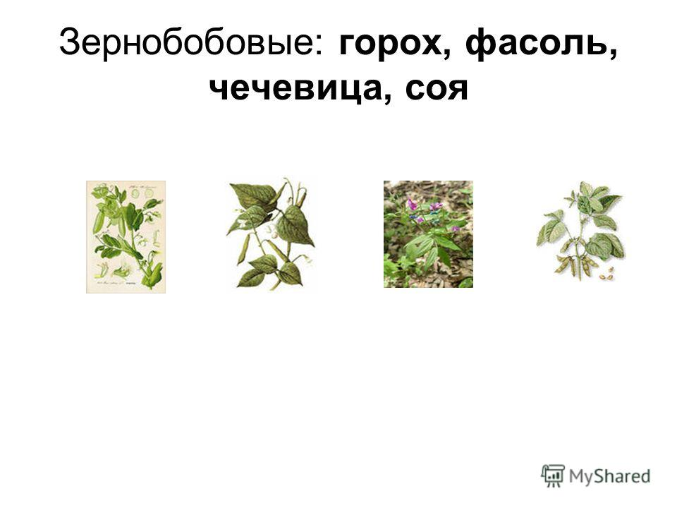 Зернобобовые: горох, фасоль, чечевица, соя