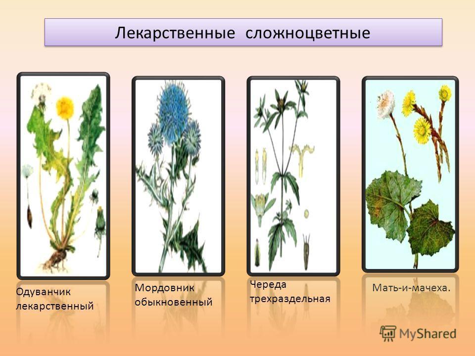 Лекарственные сложноцветные Одуванчик лекарственный Мордовник обыкновенный Череда трехраздельная Мать-и-мачеха.