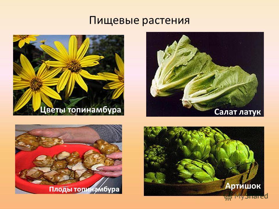 Пищевые растения Цветы топинамбура Плоды топинамбура Салат латук Артишок