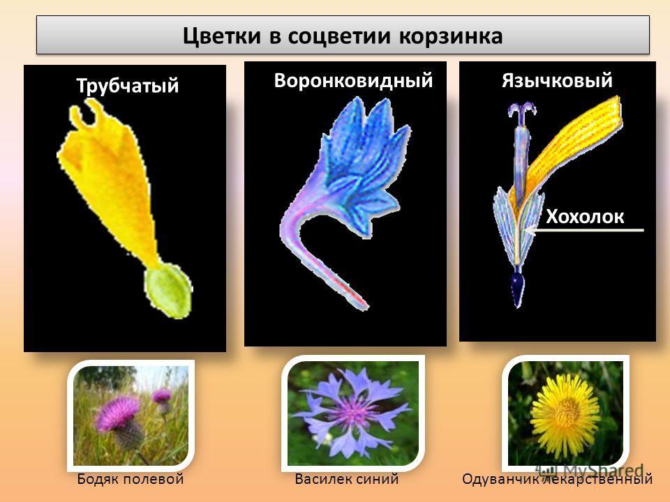 Цветки в соцветии корзинка Трубчатый ВоронковидныйЯзычковый Хохолок Бодяк полевойВасилек синийОдуванчик лекарственный