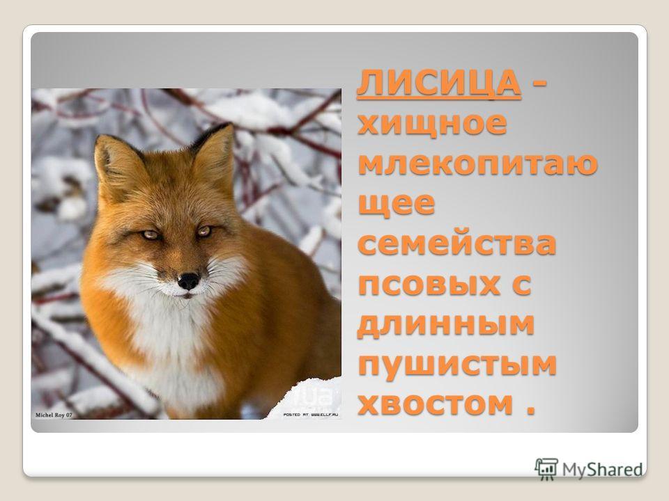 ЛИСИЦА - хищное млекопитаю щее семейства псовых с длинным пушистым хвостом.