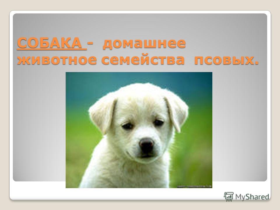 СОБАКА - домашнее животное семейства псовых.