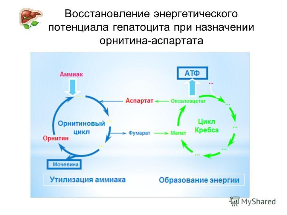 Восстановление энергетического потенциала гепатоцита при назначении орнитина-аспартата