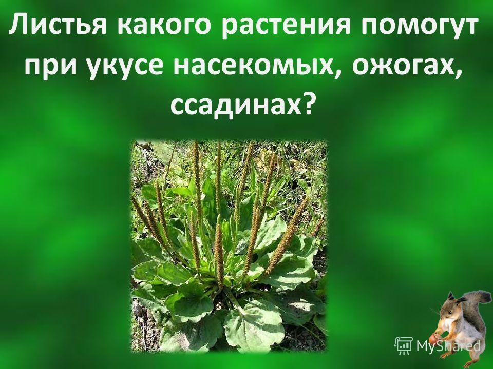 Листья какого растения помогут при укусе насекомых, ожогах, ссадинах?