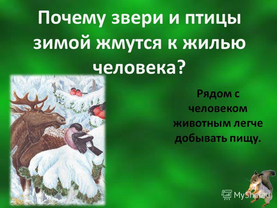 Почему звери и птицы зимой жмутся к жилью человека? Рядом с человеком животным легче добывать пищу.