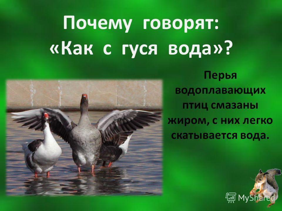 Почему говорят: «Как с гуся вода»? Перья водоплавающих птиц смазаны жиром, с них легко скатывается вода.