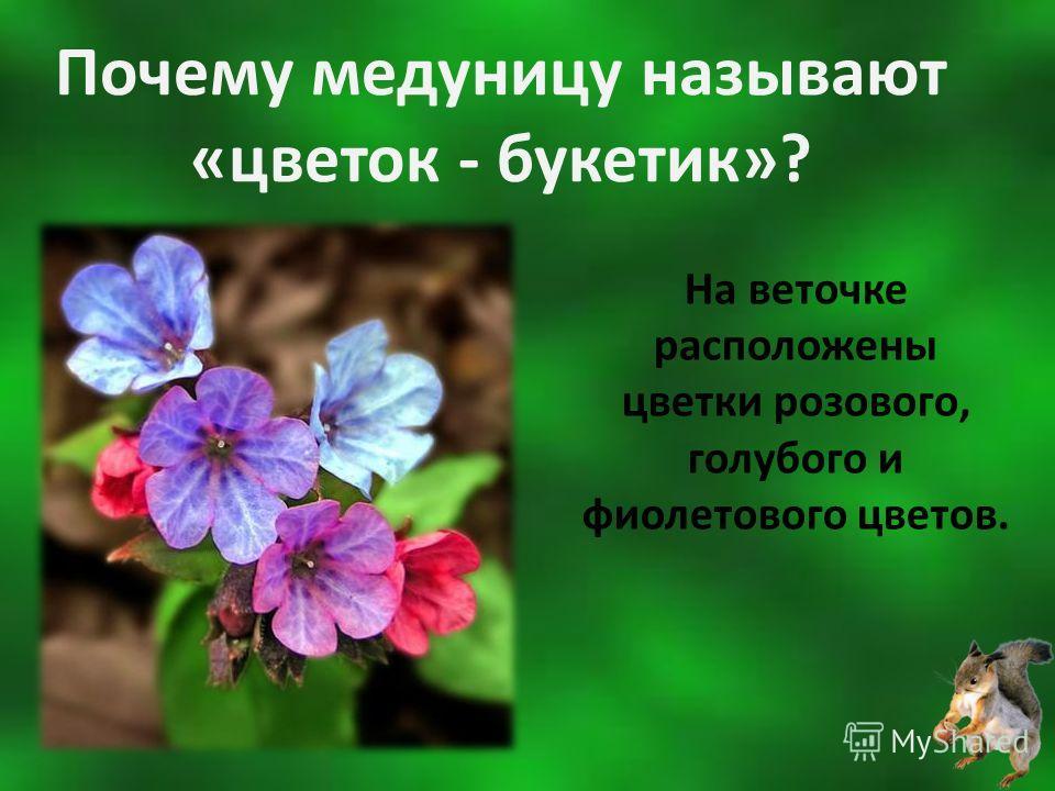Почему медуницу называют «цветок - букетик»? На веточке расположены цветки розового, голубого и фиолетового цветов.