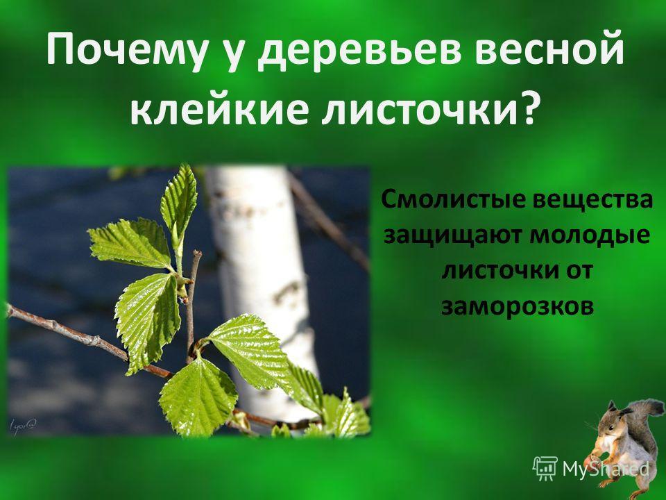 Почему у деревьев весной клейкие листочки? Смолистые вещества защищают молодые листочки от заморозков