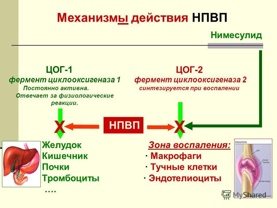 Желудок Зона воспаления: Кишечник· Макрофаги Почки· Тучные клетки Тромбоциты · Эндотелиоциты …. Нимесулид НПВП Механизмы действия НПВП ЦОГ-1 фермент циклооксигеназа 1 Постоянно активна. Отвечает за физиологические реакции. ЦОГ-2 фермент циклооксигена