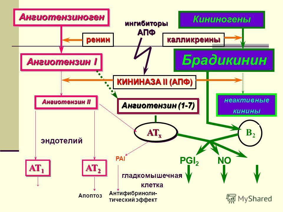 АТ 1 АТ 2 Апоптоз Ангиотензин II эндотелий Ангиотензин I АнгиотензиногенАнгиотензиноген ренин КИНИНАЗА II (АПФ) Ангиотензин (1-7) АТ х В2В2 PGI 2 NO Кининогены Брадикинин неактивные кинины ингибиторы АПФ гладкомышечная клетка калликреины PAI Антифибр