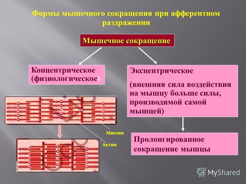 Формы мышечного сокращения при афферентном раздражении Мышечное сокращение Концентрическое (физиологическое) Эксцентрическое (внешняя сила воздействия на мышцу больше силы, производимой самой мышцей) Пролонгированное сокращение мышцы Миозин Актин