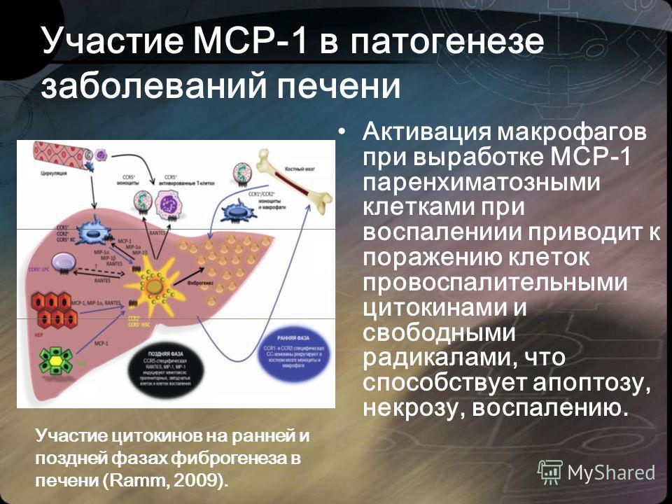 Активация макрофагов при выработке МСР-1 паренхиматозными клетками при воспалениии приводит к поражению клеток провоспалительными цитокинами и свободными радикалами, что способствует апоптозу, некрозу, воспалению. Участие МСР-1 в патогенезе заболеван