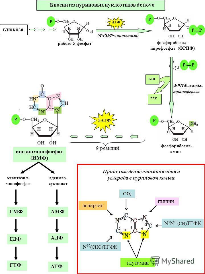 аспартат N 5 N 10 (СН) ТГФК N 10 (СНО) ТГФК глутамин глицин 1 2 3 4 5 6 7 8 9 СО 2 Биосинтез пуриновых нуклеотидов de novo Происхождение атомов азота и углерода в пуриновом кольце фосфорибозил- амин инозинмонофосфат (ИМФ) глу глн ФРПФ-амидо- трансфер