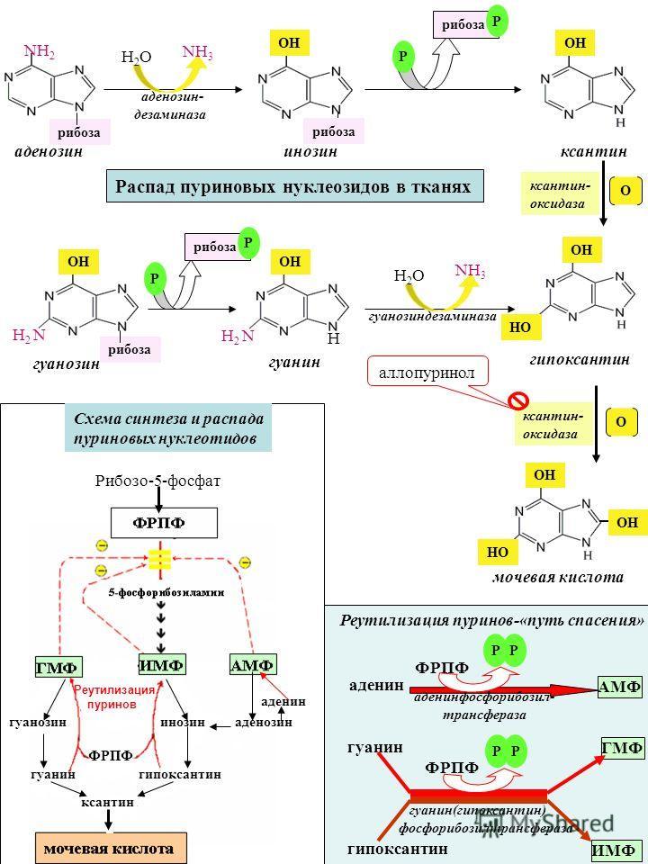 ксантин- оксидаза О мочевая кислота НО ОН рибоза аденозин ксантин инозин рибоза аденозин- дезаминаза NН3NН3 Н2ОН2О рибоза Р Р NН2NН2 ОН ксантин- оксидаза О гипоксантин гуанин Н гуанозиндезаминаза рибоза гуанозин Н 2 N рибоза Р Р ОН НО ОН Н 2 N NН3NН3