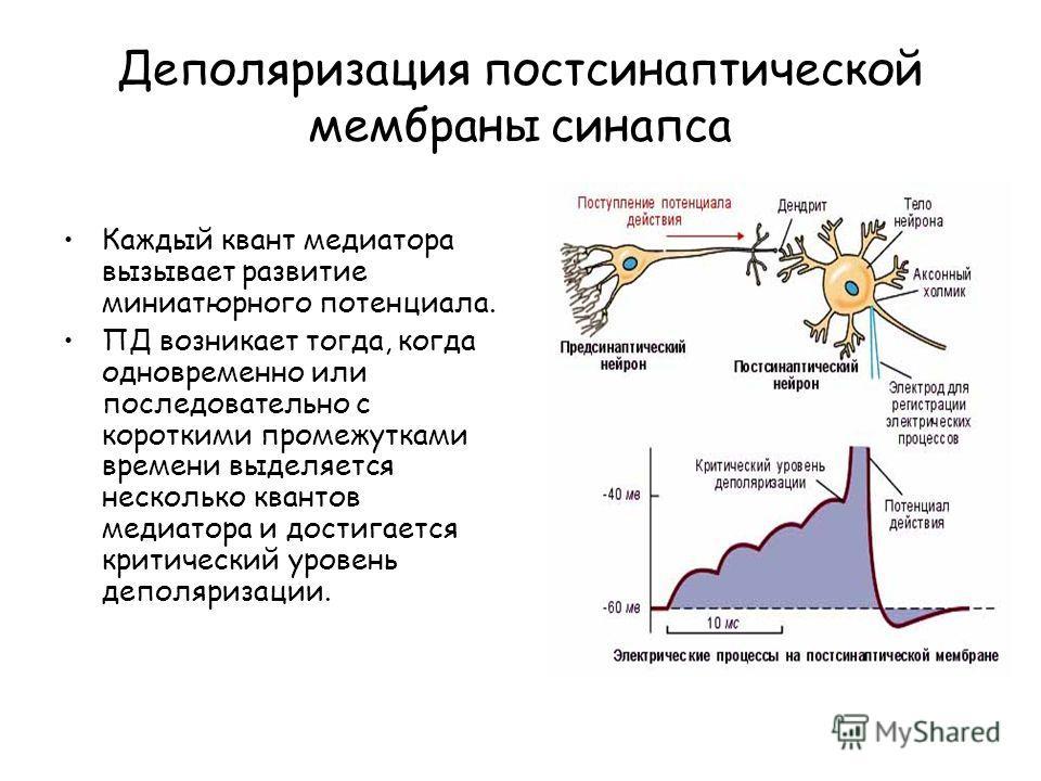 Деполяризация постсинаптической мембраны синапса Каждый квант медиатора вызывает развитие миниатюрного потенциала. ПД возникает тогда, когда одновременно или последовательно с короткими промежутками времени выделяется несколько квантов медиатора и до