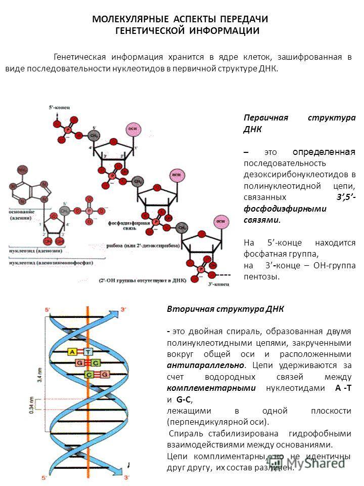МОЛЕКУЛЯРНЫЕ АСПЕКТЫ ПЕРЕДАЧИ ГЕНЕТИЧЕСКОЙ ИНФОРМАЦИИ Первичная структура ДНК – это определенная последовательность дезоксирибонуклеотидов в полинуклеотидной цепи, связанных 3,5- фосфодиэфирными связями. На 5-конце находится фосфатная группа, на 3 -