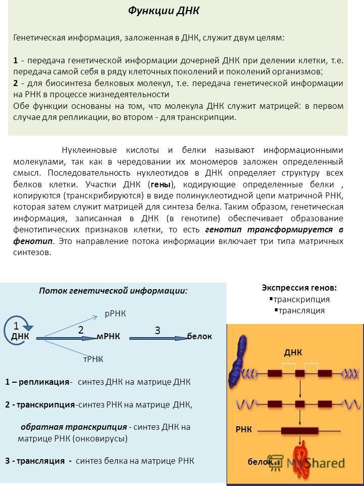 Нуклеиновые кислоты и белки называют информационными молекулами, так как в чередовании их мономеров заложен определенный смысл. Последовательность нуклеотидов в ДНК определяет структуру всех белков клетки. Участки ДНК (гены), кодирующие определенные