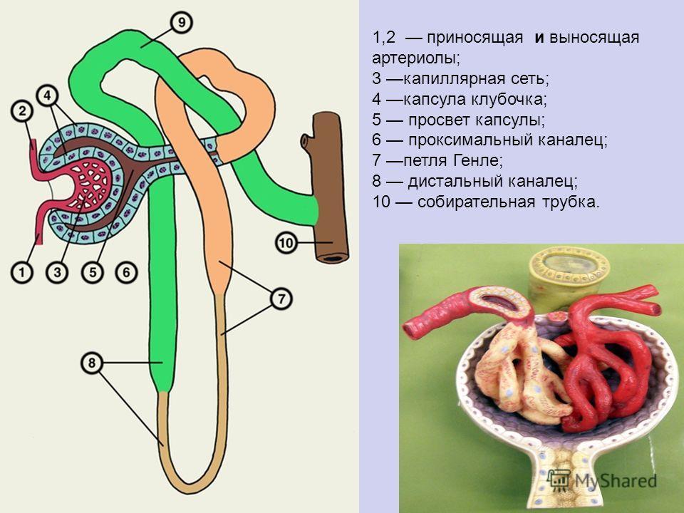 1,2 приносящая и выносящая артериолы; 3 капиллярная сеть; 4 капсула клубочка; 5 просвет капсулы; 6 проксимальный каналец; 7 петля Генле; 8 дистальный каналец; 10 собирательная трубка.