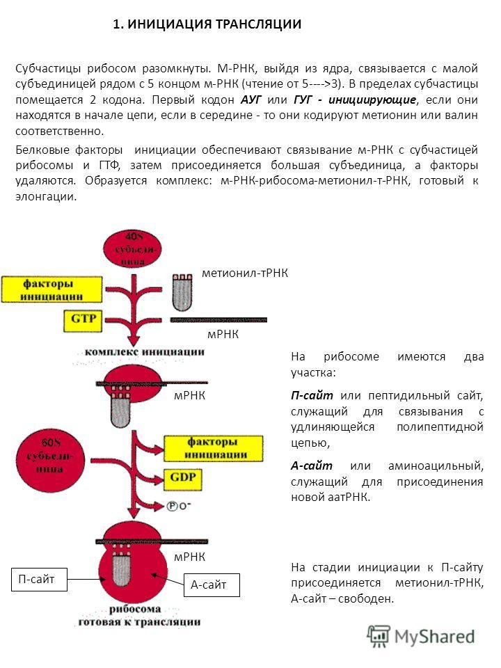 Субчастицы рибосом разомкнуты. М-РНК, выйдя из ядра, связывается с малой субъединицей рядом с 5 концом м-РНК (чтение от 5---->3). В пределах субчастицы помещается 2 кодона. Первый кодон АУГ или ГУГ - инициирующие, если они находятся в начале цепи, ес
