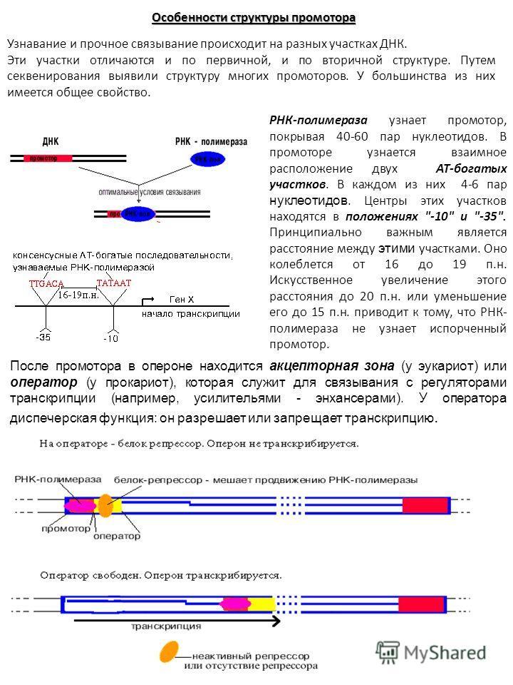 Особенности структуры промотора Узнавание и прочное связывание происходит на разных участках ДНК. Эти участки отличаются и по первичной, и по вторичной структуре. Путем секвенирования выявили структуру многих промоторов. У большинства из них имеется