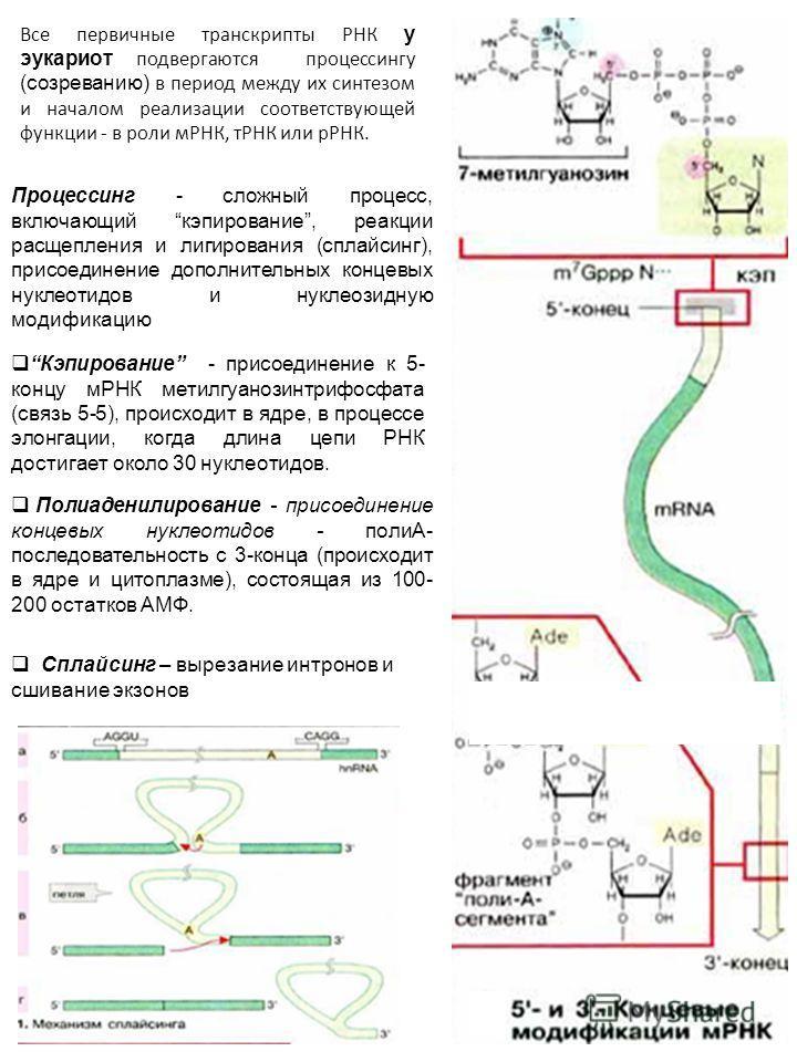 Все первичные транскрипты РНК у эукариот подвергаются процессингу (созреванию) в период между их синтезом и началом реализации соответствующей функции - в роли мРНК, тРНК или рРНК. Процессинг - сложный процесс, включающий кэпирование, реакции расщепл