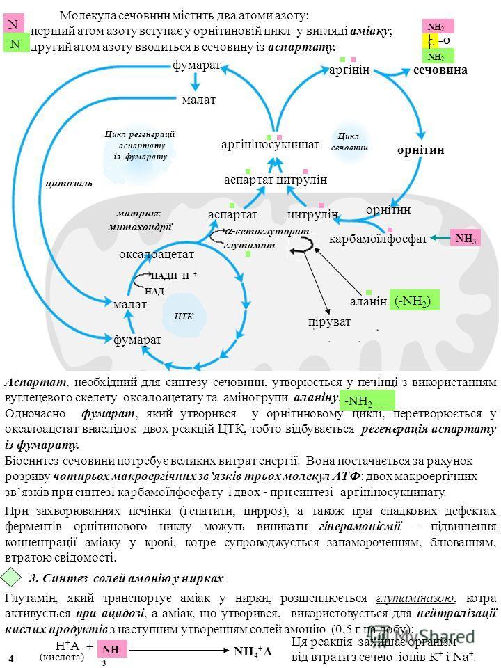 Молекула сечовини містить два атоми азоту: перший атом азоту вступає у орнітиновій цикл у вигляді аміаку; другий атом азоту вводиться в сечовину із аспартату. N N матрикс митохондрії цитозоль орнітин аргінін цитрулін орнітин аргініносукцинат цитрулін