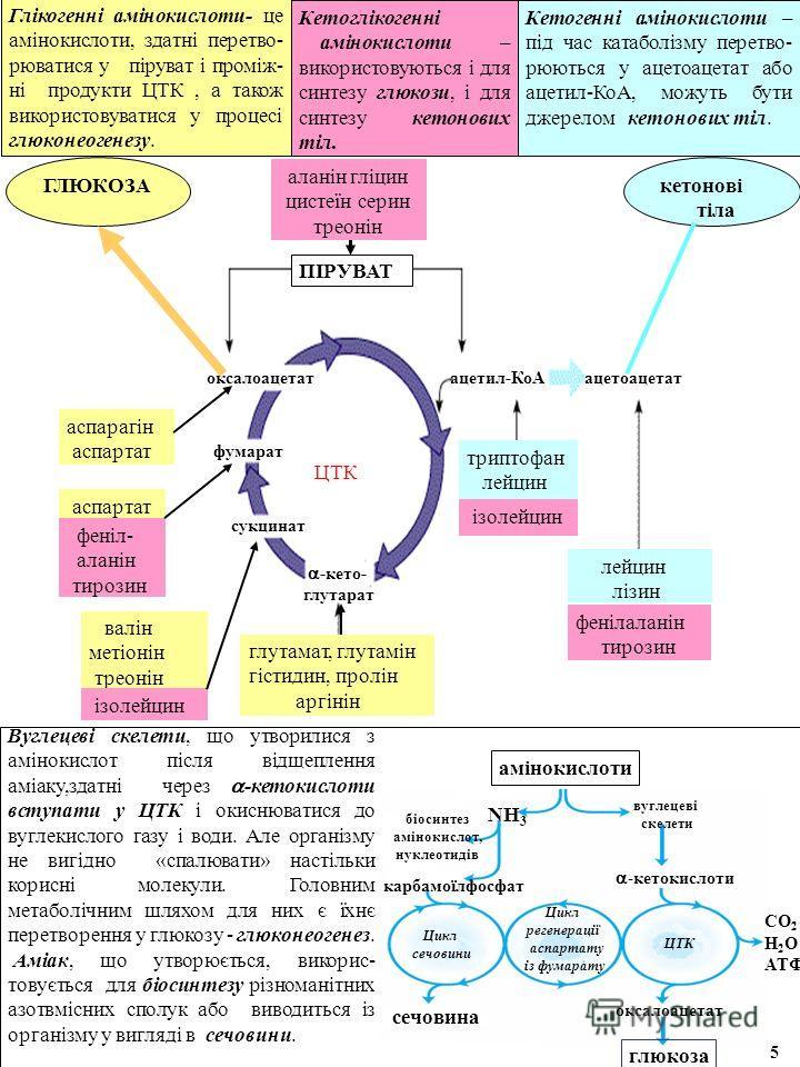 Глікогенні амінокислоти- це амінокислоти, здатні перетво- рюватися у піруват і проміж- ні продукти ЦТК, а також використовуватися у процесі глюконеогенезу. Кетоглікогенні амінокислоти – використовуються і для синтезу глюкози, і для синтезу кетонових