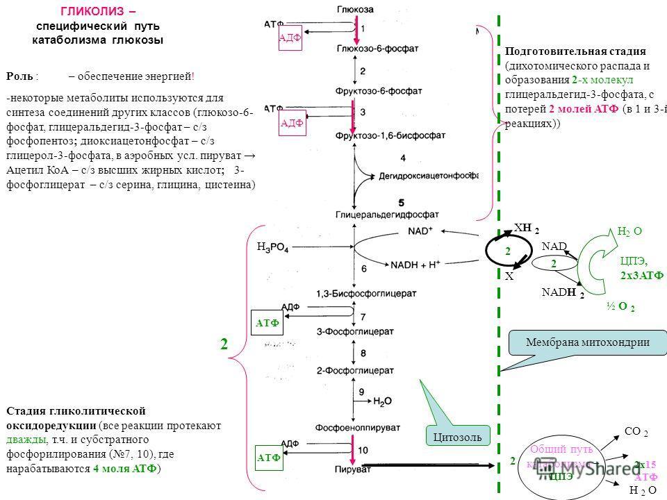 ГЛИКОЛИЗ – специфический путь катаболизма глюкозы Роль :– обеспечение энергией! -некоторые метаболиты используются для синтеза соединений других классов (глюкозо-6- фосфат, глицеральдегид-3-фосфат – с/з фосфопентоз; диоксиацетонфосфат – с/з глицерол-