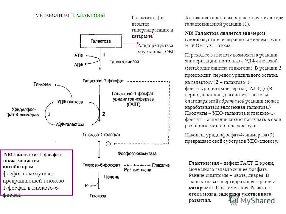 МЕТАБОЛИЗМ ГАЛАКТОЗЫ NB! Галактозо-1-фосфат – также является ингибитором фосфоглюкомутазы, превращающей глюкозо- 1-фосфат в глюкозо-6- фосфат ! Активация галактозы осуществляется в ходе галактокиназной реакции (1). NB! Галактоза является эпимером глю