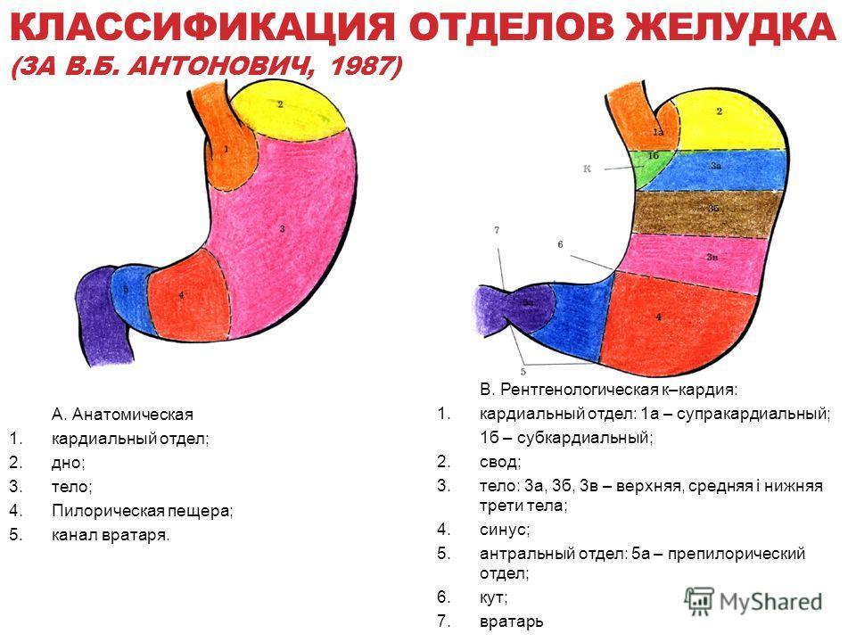 КЛАССИФИКАЦИЯ ОТДЕЛОВ ЖЕЛУДКА (ЗА В.Б. АНТОНОВИЧ, 1987) A. Анатомическая 1.кардиальный отдел; 2.дно; 3.тело; 4.Пилорическая пещера; 5.канал вратаря. В. Рентгенологическая к–кардия: 1.кардиальный отдел: 1а – супракардиальный; 1б – субкардиальный; 2.св
