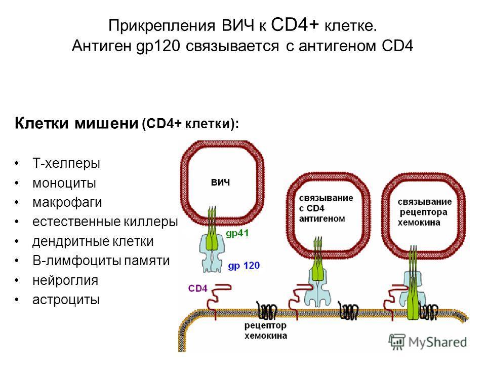 Прикрепления ВИЧ к CD4+ клетке. Антиген gp120 связывается с антигеном CD4 Клетки мишени (СD4+ клетки): Т-хелперы моноциты макрофаги естественные киллеры дендритные клетки В-лимфоциты памяти нейроглия астроциты