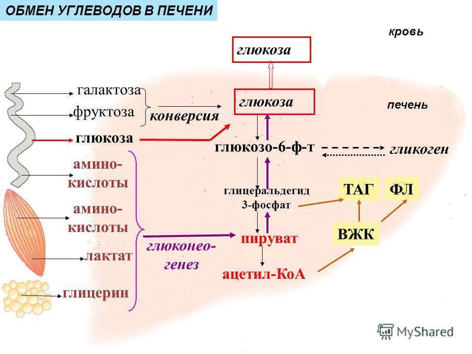 лактат глицерин амино- кислоты глюкоза гликоген фруктоза галактоза амино- кислоты глюкозо-6-ф-т пируват ацетил-КоА глюкоза ВЖК глюконео- генез конверсия ТАГФЛ глицеральдегид 3-фосфат ОБМЕН УГЛЕВОДОВ В ПЕЧЕНИ кровь печень