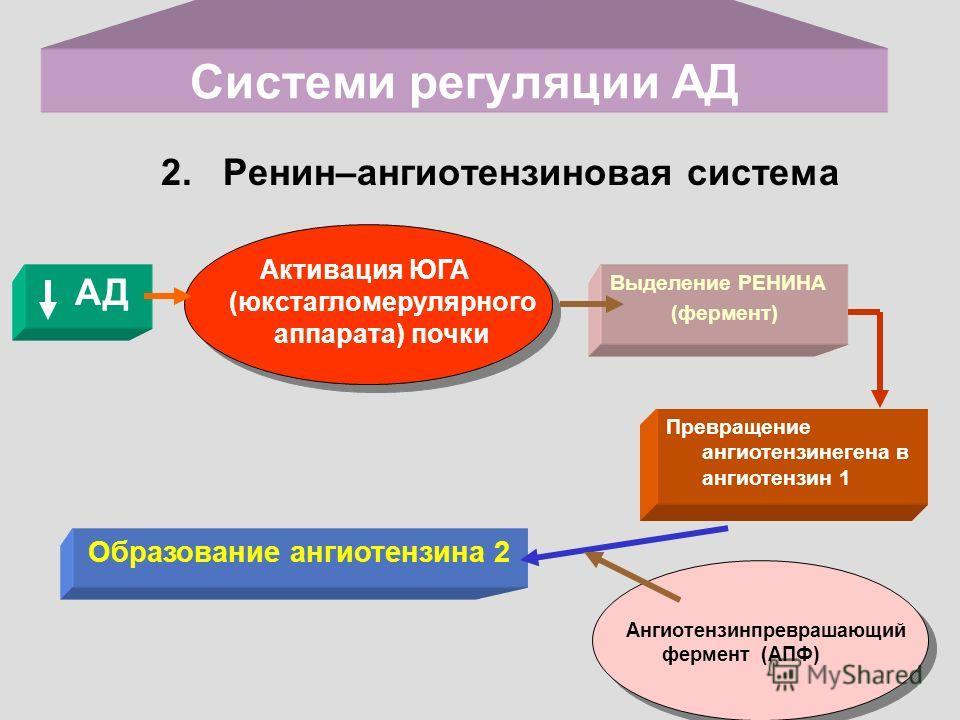 Системи регуляции АД 2. Ренин–ангиотензиновая система АД Активация ЮГА (юкстагломерулярного аппарата) почки Выделение РЕНИНА (фермент) Образование ангиотензина 2 Превращение ангиотензинегена в ангиотензин 1 Ангиотензинпреврашающий фермент (АПФ)