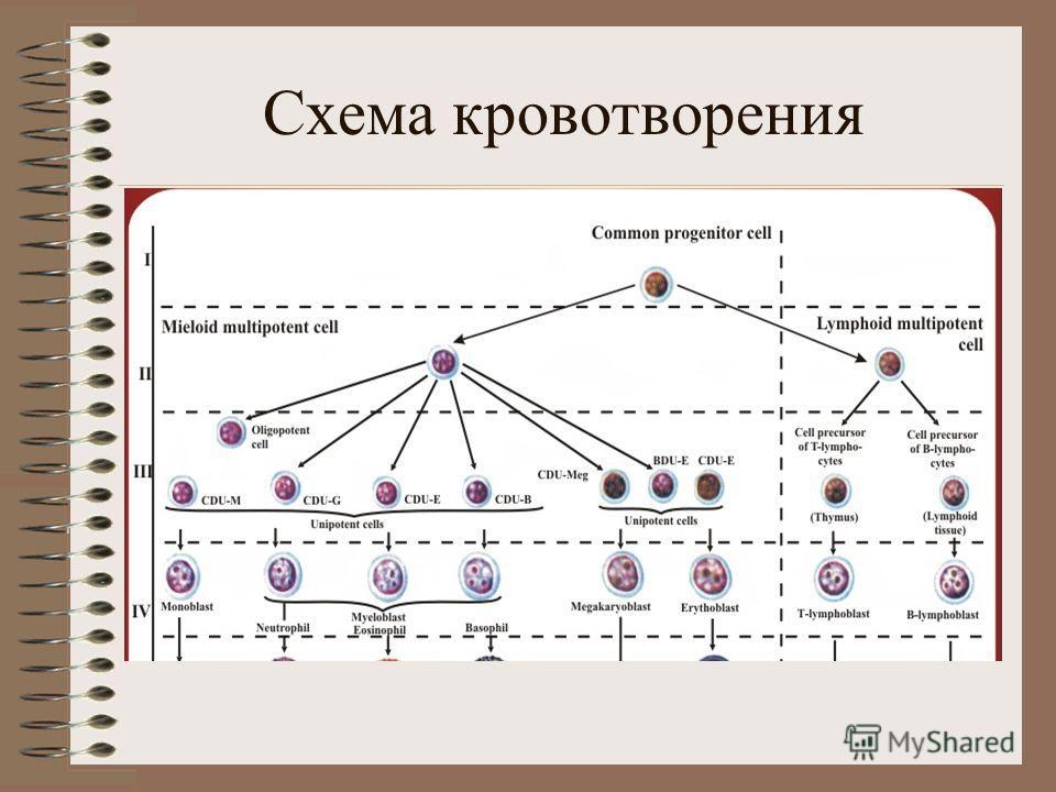 Схема кровотворения