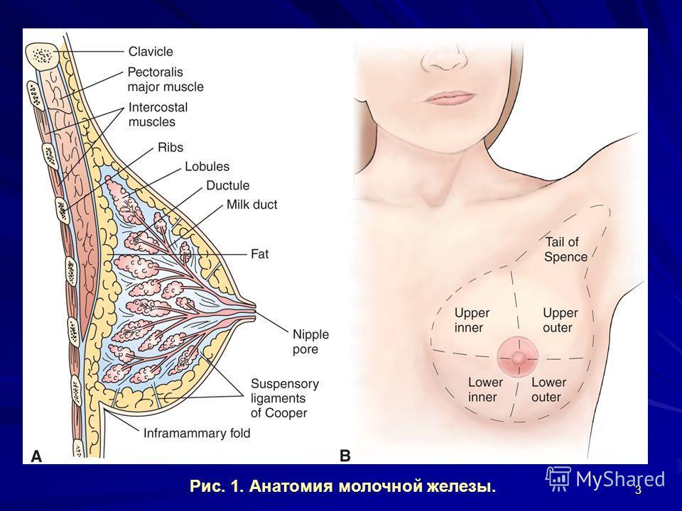 3 Рис. 1. Анатомия молочной железы.
