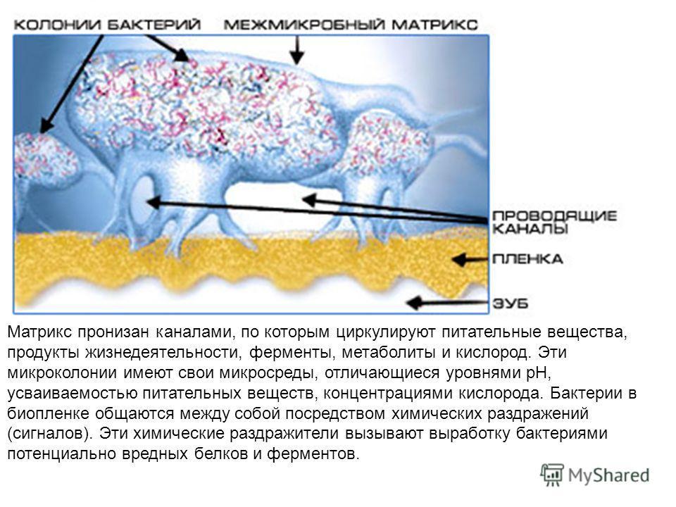 Матрикс пронизан каналами, по которым циркулируют питательные вещества, продукты жизнедеятельности, ферменты, метаболиты и кислород. Эти микроколонии имеют свои микросреды, отличающиеся уровнями рН, усваиваемостью питательных веществ, концентрациями
