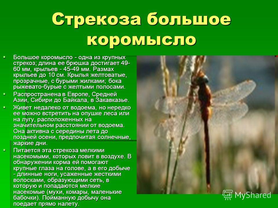 Стрекоза большое коромысло Большое коромысло - одна из крупных стрекоз; длина ее брюшка достигает 49- 60 мм, крыльев - 45-49 мм. Размах крыльев до 10 см. Крылья желтоватые, прозрачные, с бурыми жилками; бока рыжевато-бурые с желтыми полосами. Большое