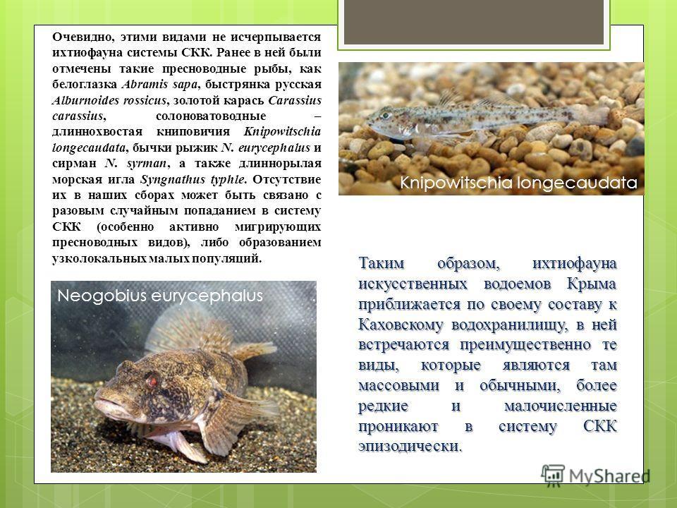 Очевидно, этими видами не исчерпывается ихтиофауна системы СКК. Ранее в ней были отмечены такие пресноводные рыбы, как белоглазка Abramis sapa, быстрянка русская Alburnoides rossicus, золотой карась Carassius carassius, солоноватоводные – длиннохвост