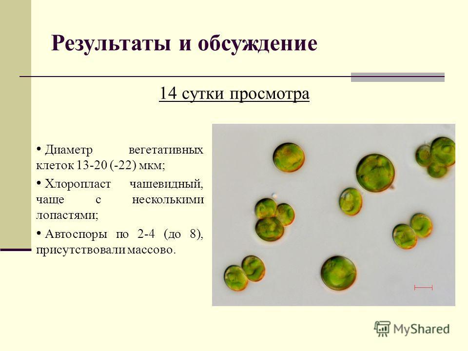 Результаты и обсуждение 14 сутки просмотра Диаметр вегетативных клеток 13-20 (-22) мкм; Хлоропласт чашевидный, чаще с несколькими лопастями; Автоспоры по 2-4 (до 8), присутствовали массово.