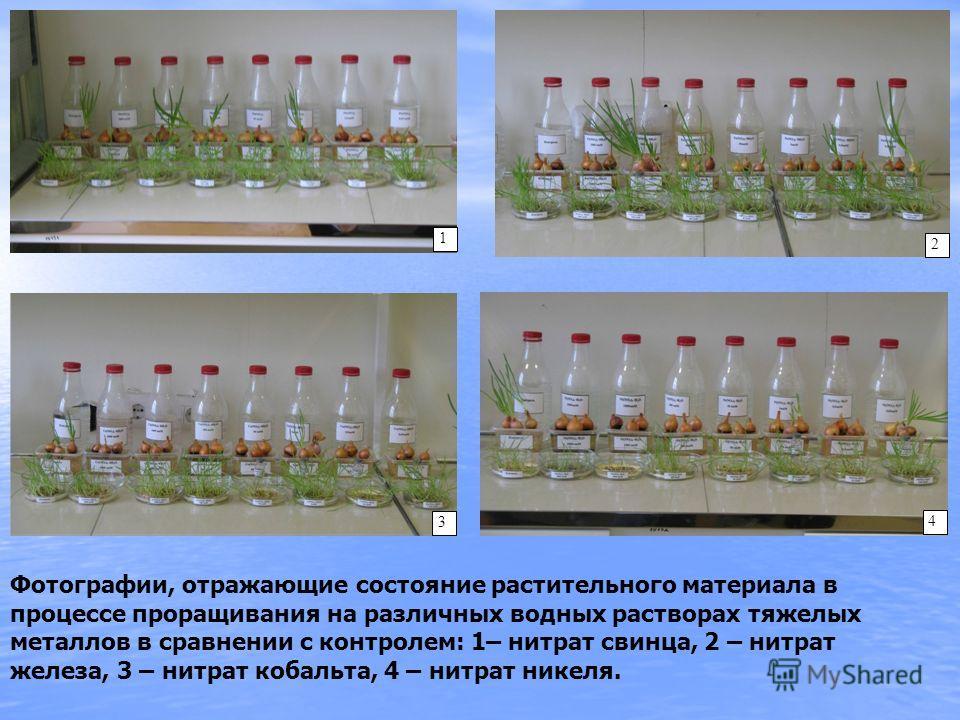 Фотографии, отражающие состояние растительного материала в процессе проращивания на различных водных растворах тяжелых металлов в сравнении с контролем: 1– нитрат свинца, 2 – нитрат железа, 3 – нитрат кобальта, 4 – нитрат никеля. 1 2 3 4