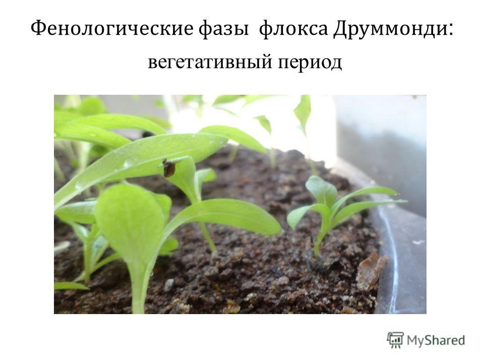 Фенологические фазы флокса Друммонди : вегетативный период