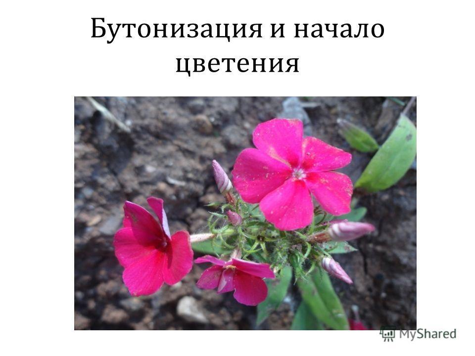 Бутонизация и начало цветения