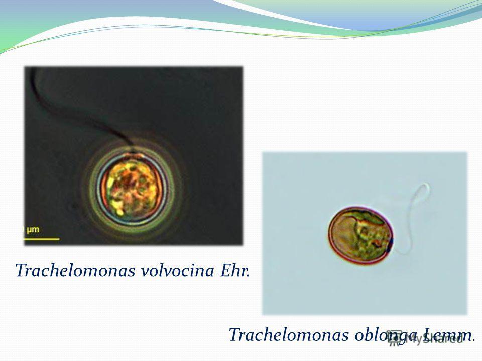 Trachelomonas volvocina Ehr. Trachelomonas oblonga Lemm.