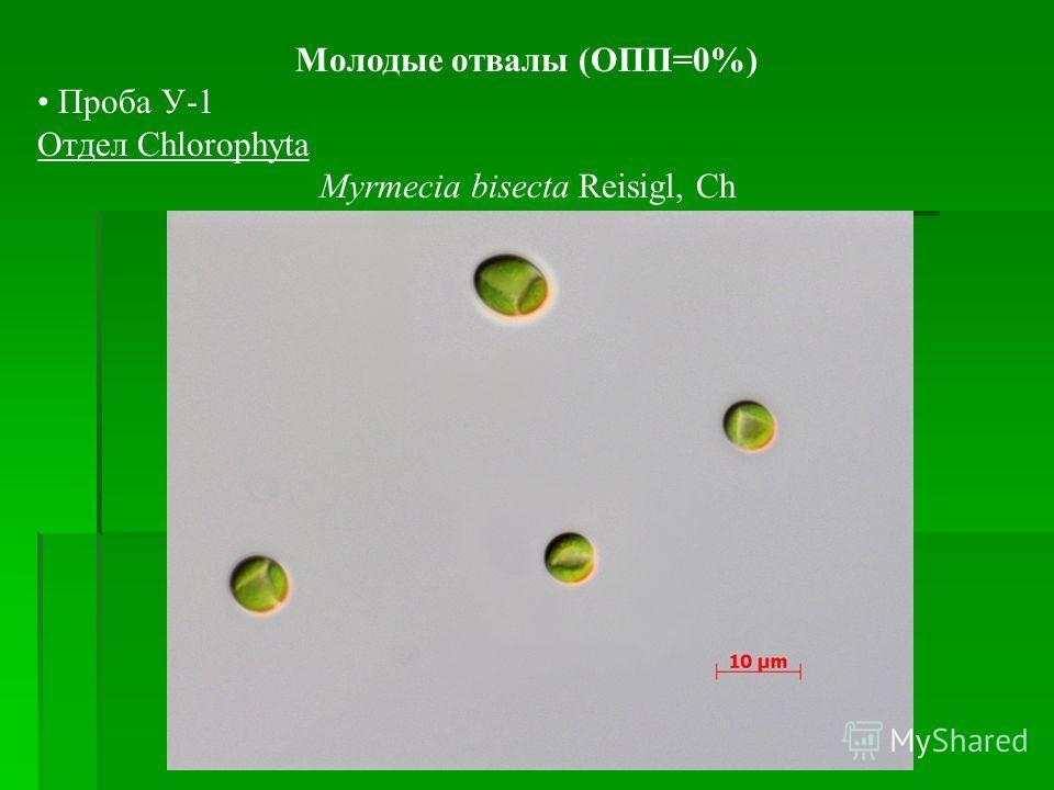 Молодые отвалы (ОПП=0%) Проба У-1 Отдел Chlorophyta Myrmecia bisecta Reisigl, Ch