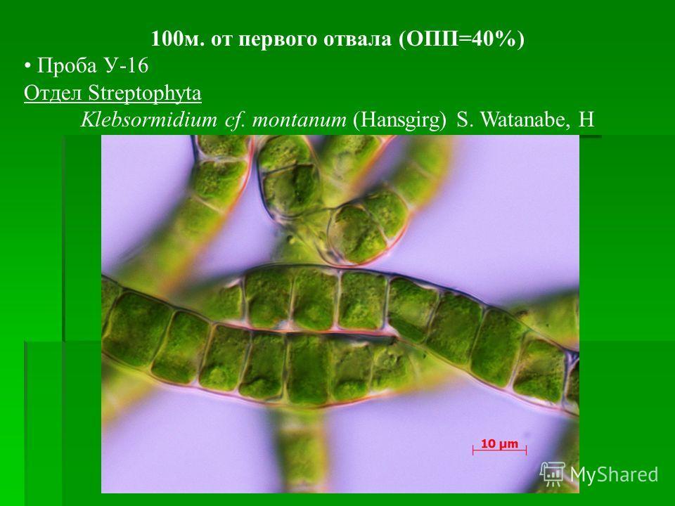 100м. от первого отвала (ОПП=40%) Проба У-16 Отдел Streptophyta Klebsormidium cf. montanum (Hansgirg) S. Watanabe, H